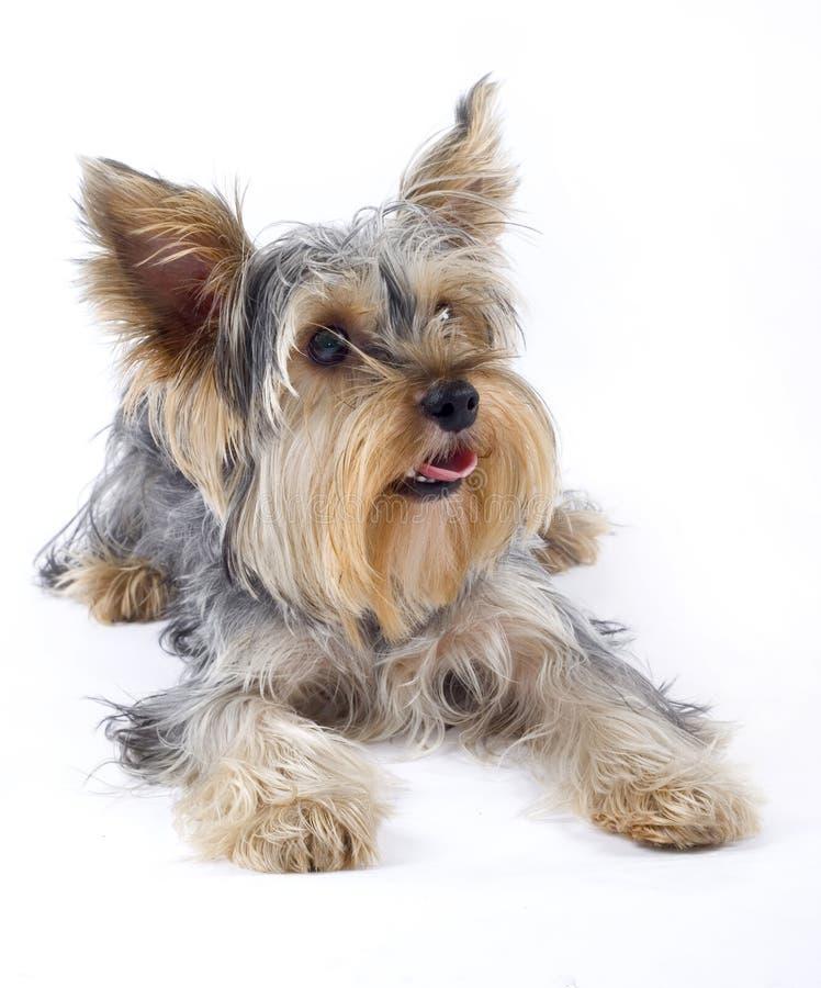 Het beeld van de close-up van kleine hond royalty-vrije stock afbeeldingen