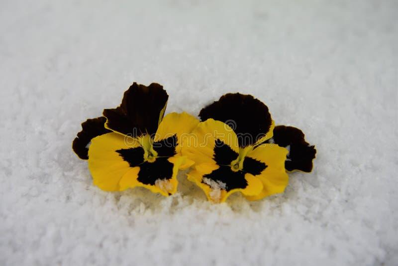 Het beeld van de wintertijdfotografie van geel en zwart die viooltje bloeit in sneeuw op Zuidenkust Engeland wordt genomen het UK royalty-vrije stock afbeelding