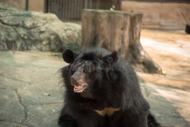 Het beeld van een zwarte draagt of de Buffels dragen, het wilddier stock afbeeldingen