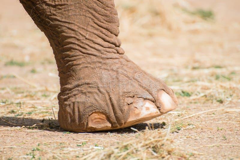 Het Been van de olifant stock afbeelding