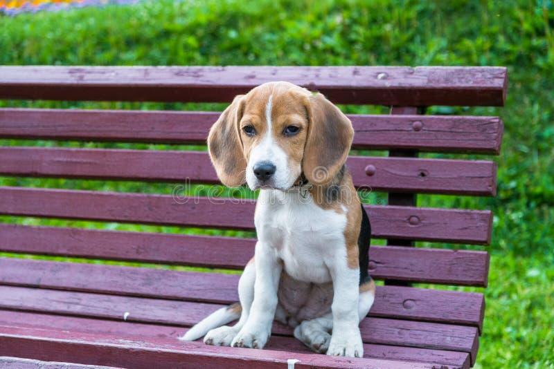 Het begrip van de zitting van het Brakpuppy op een bank in het stadspark stock afbeeldingen