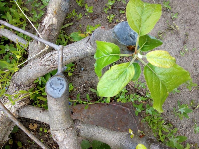 Het behandelen van de boom De boom van de appel Versiering op een gezonde vlucht aan de ring royalty-vrije stock afbeelding