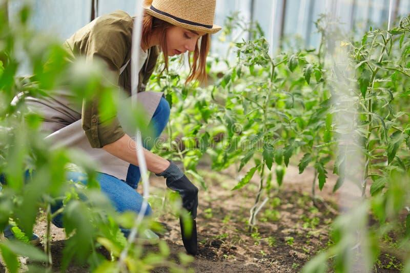 Het behandelen van tomaten royalty-vrije stock fotografie