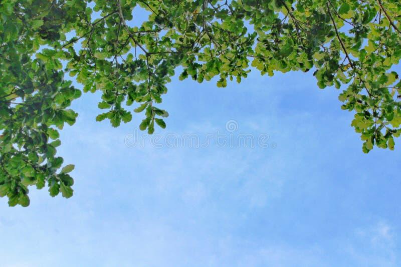 Het bekijken omhoog heldergroene bladeren en blauwe hemel stock afbeeldingen