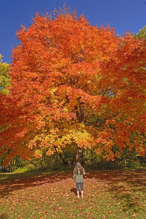 Het bekijken in Sugar Maple in Dalingskleuren stock fotografie