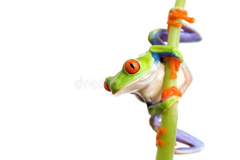 Het beklimmen van de kikker stock afbeelding