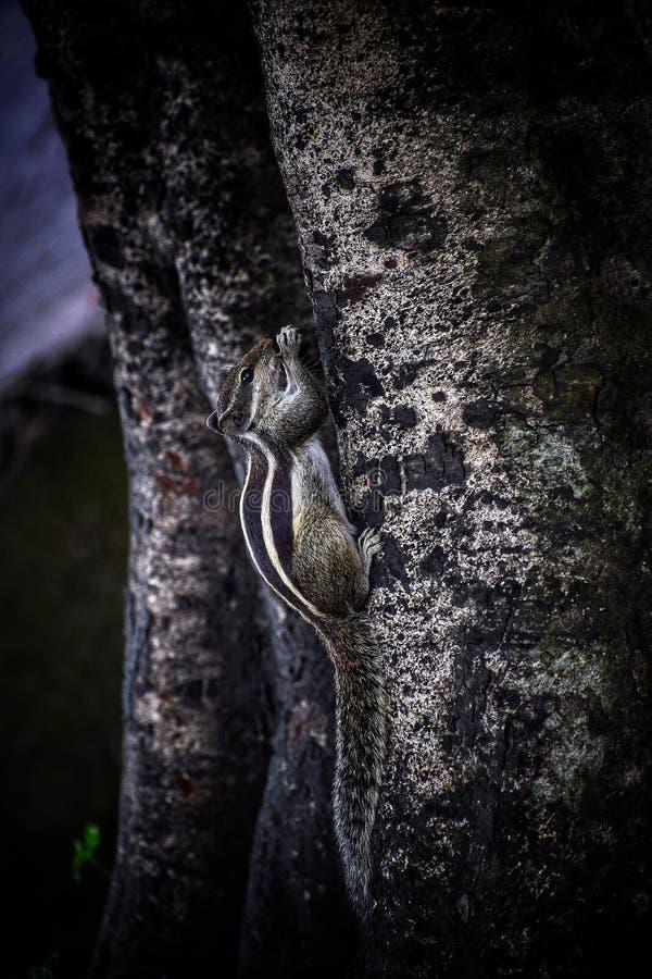 Het beklimmen van Eekhoorn royalty-vrije stock afbeelding