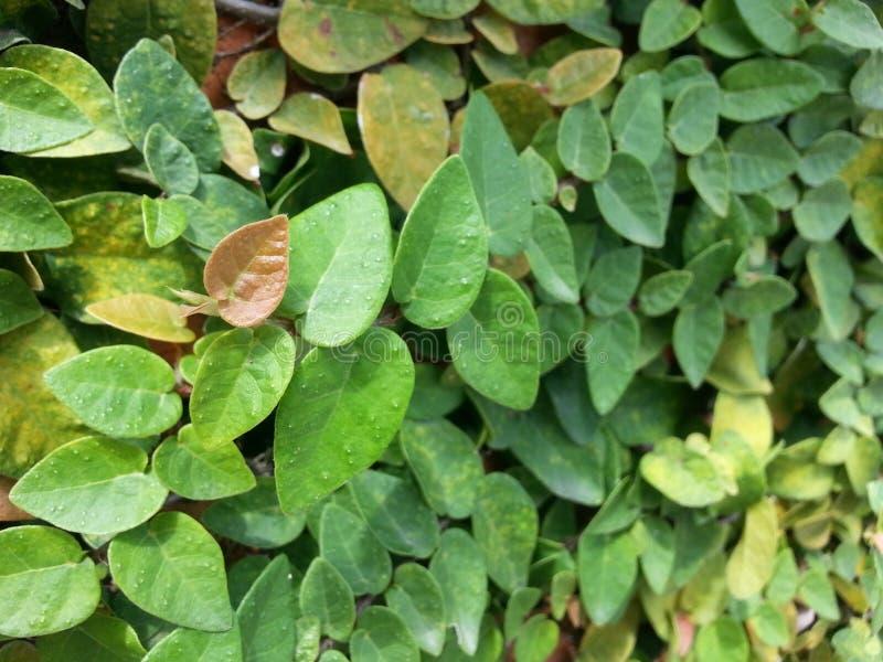Het beklimmen van fig. stock foto's