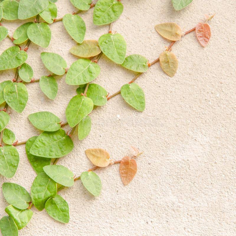 Het beklimmen van Groene Ivy Background stock foto's