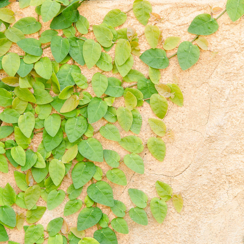 Het beklimmen van Groene Klimop op concrete muur royalty-vrije stock afbeeldingen