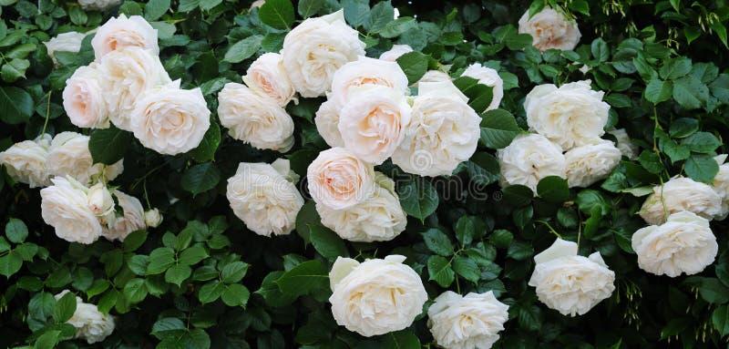 Het beklimmen van mooie rozen stock afbeelding
