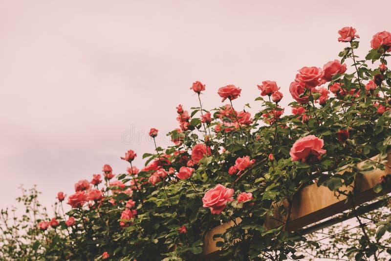 Het beklimmen van roze rozen in de zomertuin stock fotografie