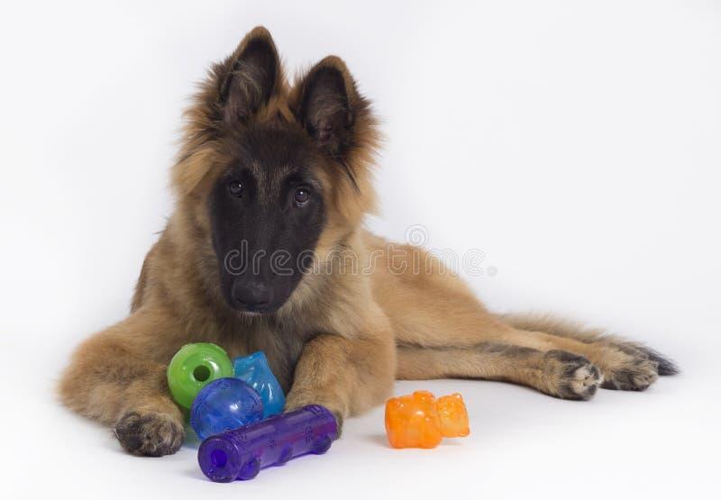 Het Belgische puppy van HerdersTervuren met speelgoed royalty-vrije stock afbeelding