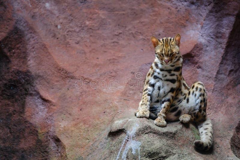 Het bengalensisLooking van Prionailurus van de luipaardkat royalty-vrije stock afbeeldingen