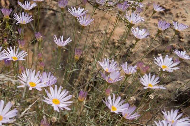 Het bereik van lavendelbloemen voor de zon royalty-vrije stock foto