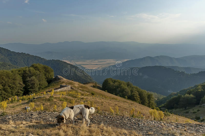 Het berglandschap met mullein of Verbascum bloeit, en herdershond bij Centrale Balkan berg, Beklemeto of Trojan pas royalty-vrije stock foto's