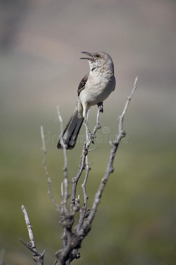 Het bespotten Vogelzitting bij Tak het Zingen royalty-vrije stock afbeelding
