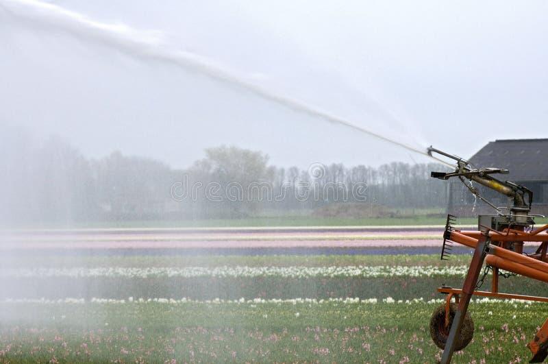 Het bestrooien van Nederlands hyacintengebied toe te schrijven aan droogte stock foto's