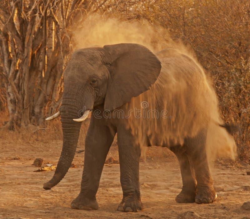 Het bestrooien van olifant royalty-vrije stock afbeelding