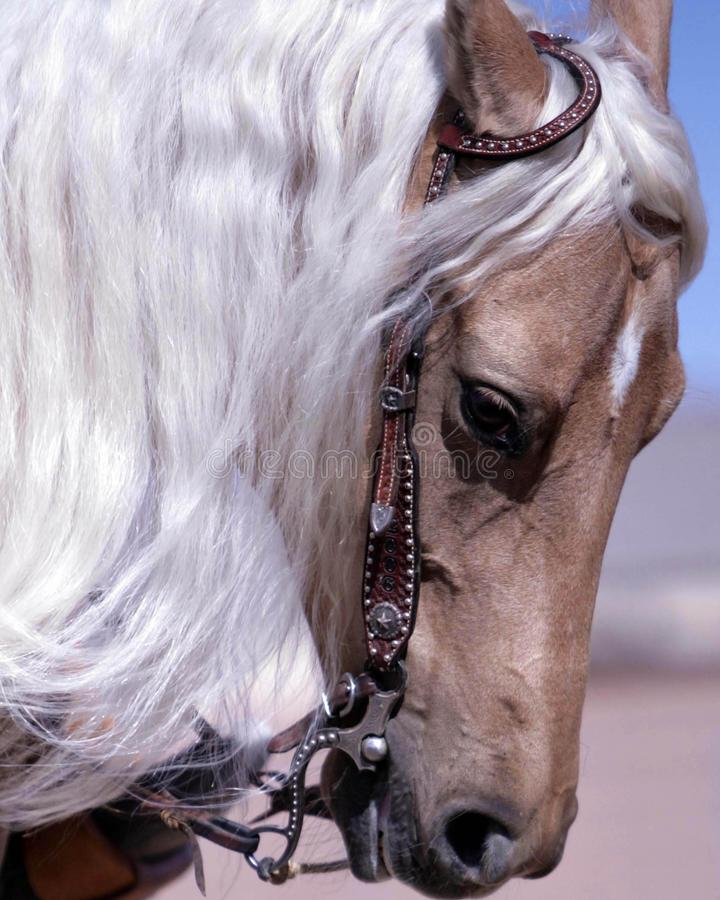 Het Beteugelende Paard van Palamino royalty-vrije stock fotografie