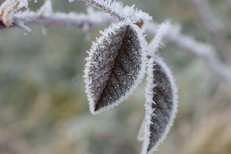 Het bevroren blad van een wildernis nam Bush toe stock fotografie