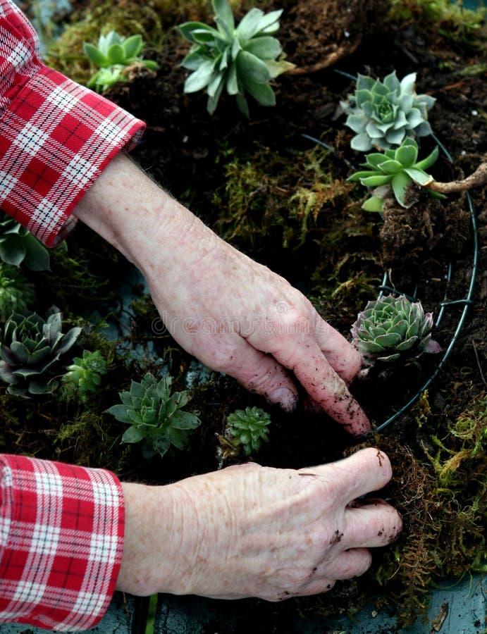 Het bewerken van een succulente kroon royalty-vrije stock foto