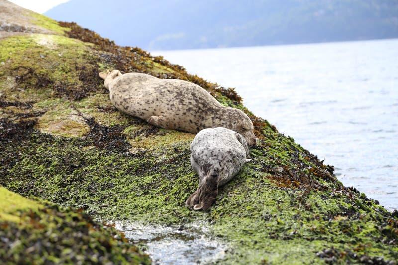 Het bezoek Vancouver en ziet leuke babyzeeleeuwen en aanbiddelijke verbindingen die op het strand slapen royalty-vrije stock fotografie