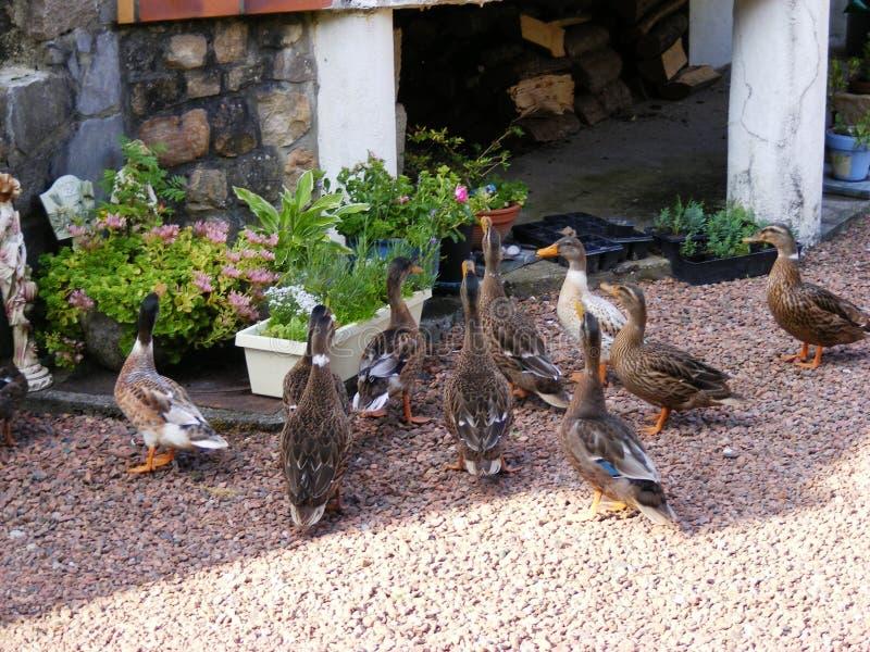 Het bezoeken eenden in tuin Anvin Frankrijk royalty-vrije stock foto's