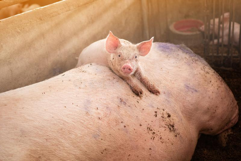 Het biggetje beklimt op het moedervarken ligt, organische varkensfokkerij stock afbeeldingen