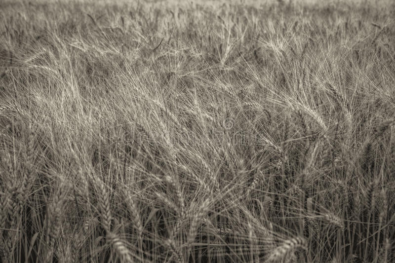 In het bijzonder van tarwe op een gebied Schoon en helder ontwerp stock fotografie