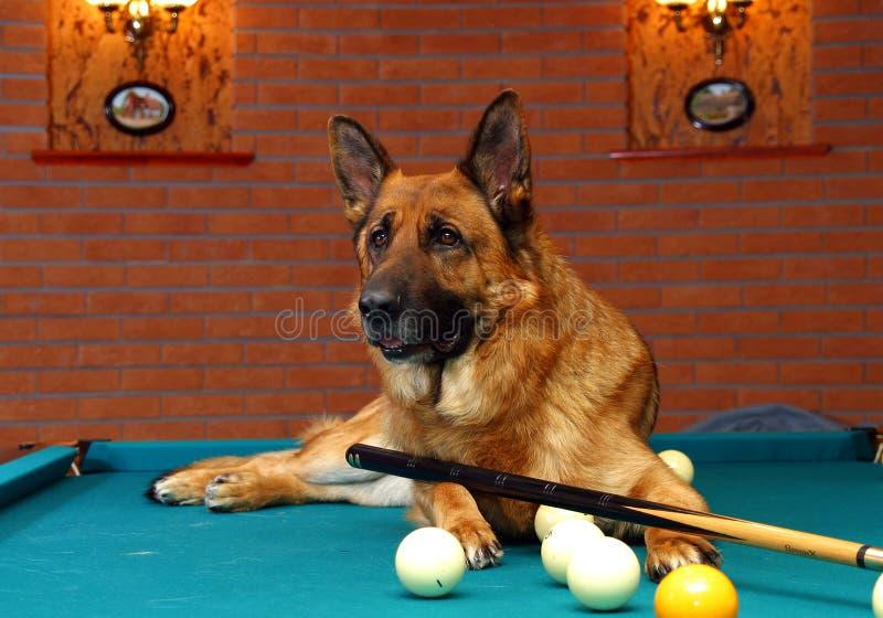 Het biljart van het de hondspel van de Duitse herder stock fotografie