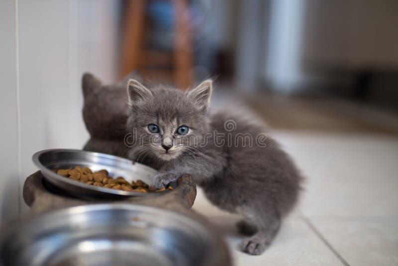 Het binnenlandse kattenpuppy eten stock foto's