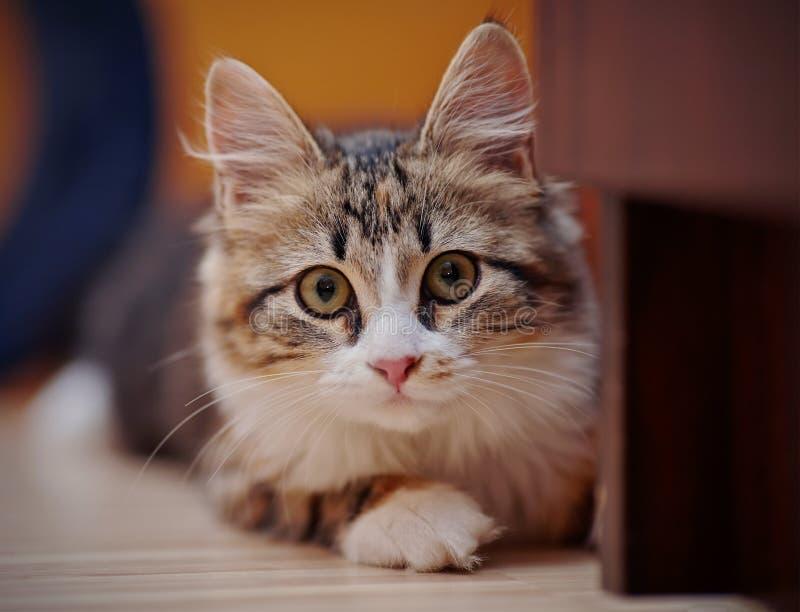 Het binnenlandse multi-colored katje stock foto's