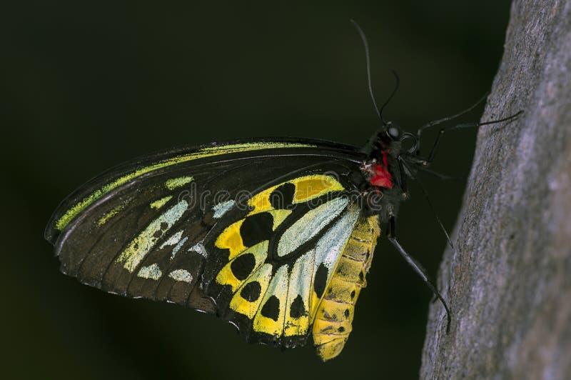 Het birdwing van steenhopen royalty-vrije stock afbeeldingen