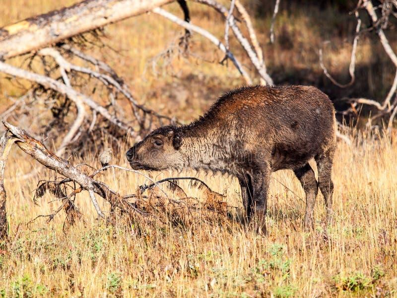 Het bizonjonge geitje ontmoet vogel royalty-vrije stock foto's