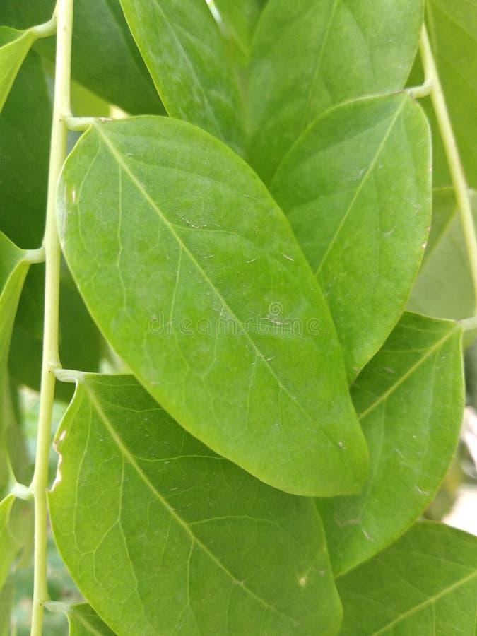 Het blad is aardig en en zeer groen groen in img en fotografie aardig in foto stock foto's