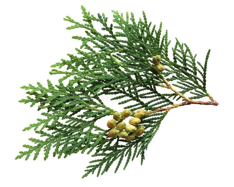 Het Blad en de Vruchten van de pijnboom royalty-vrije stock afbeelding
