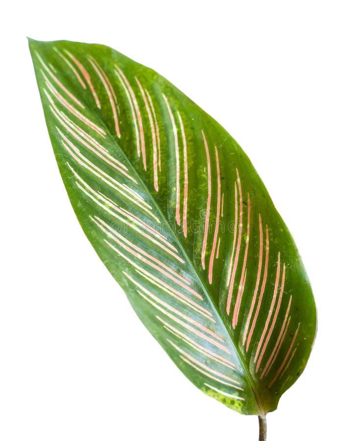 Het blad van Calatheaornata met een combinatie van strepen en een mooie rode kleur royalty-vrije stock foto's