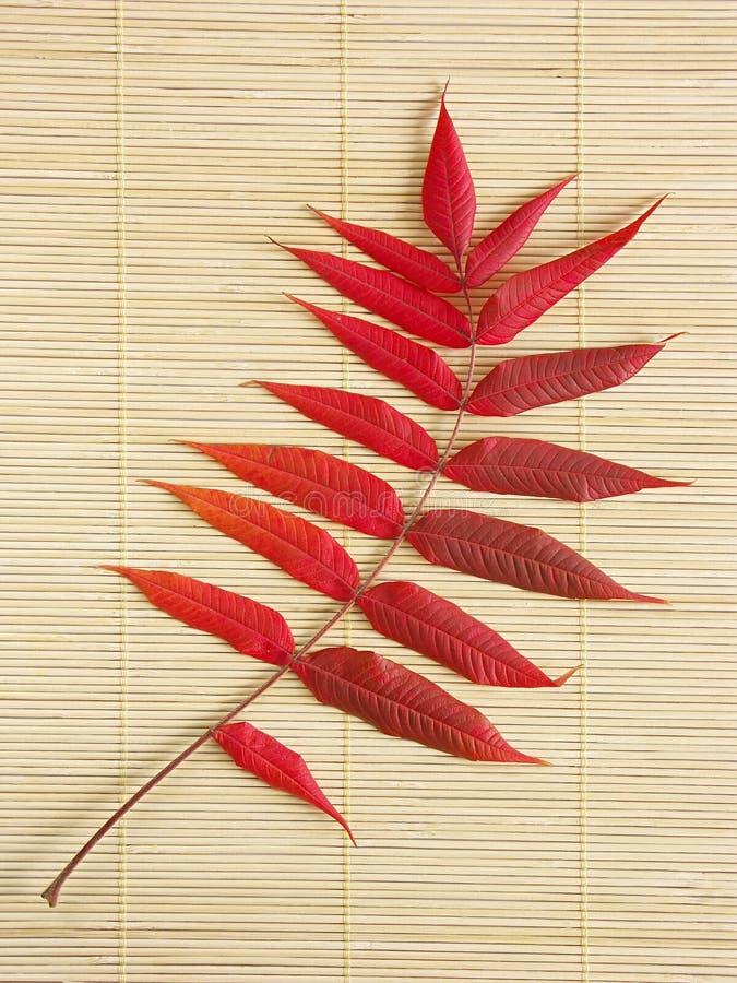 Download Het Blad Van De Acacia In De Herfstkleuren Stock Foto - Afbeelding bestaande uit stro, seizoen: 286762