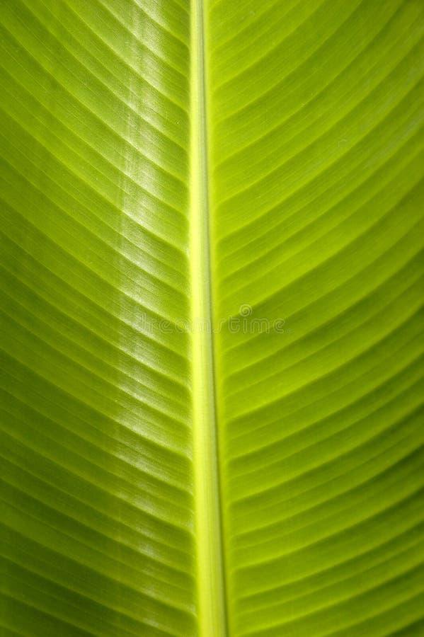 Het blad van de banaan royalty-vrije stock foto