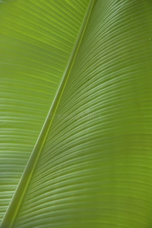 Het blad van de banaan royalty-vrije stock afbeeldingen