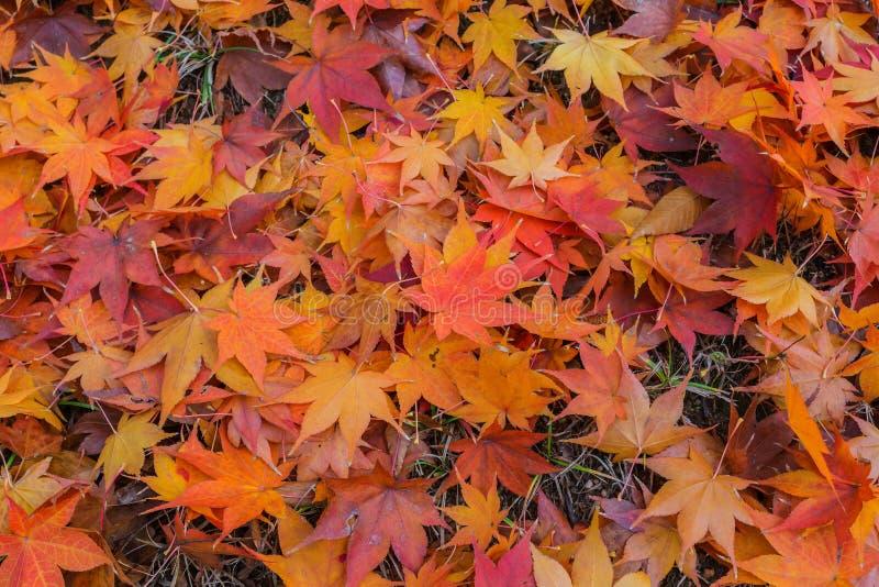 Het blad van de esdoorn in de herfst stock fotografie