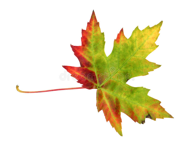 Het blad van de esdoorn in de herfst, Acer platanoides royalty-vrije stock foto