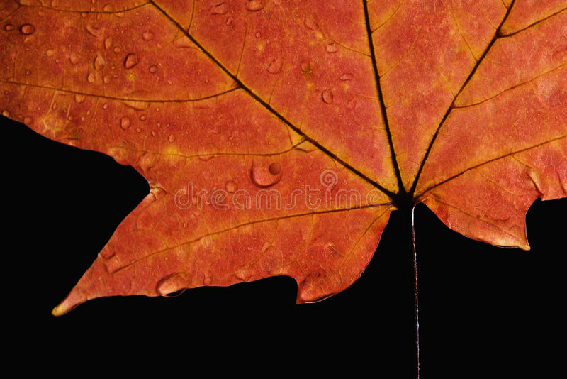 Het blad van de esdoorn met waterdalingen royalty-vrije stock afbeelding