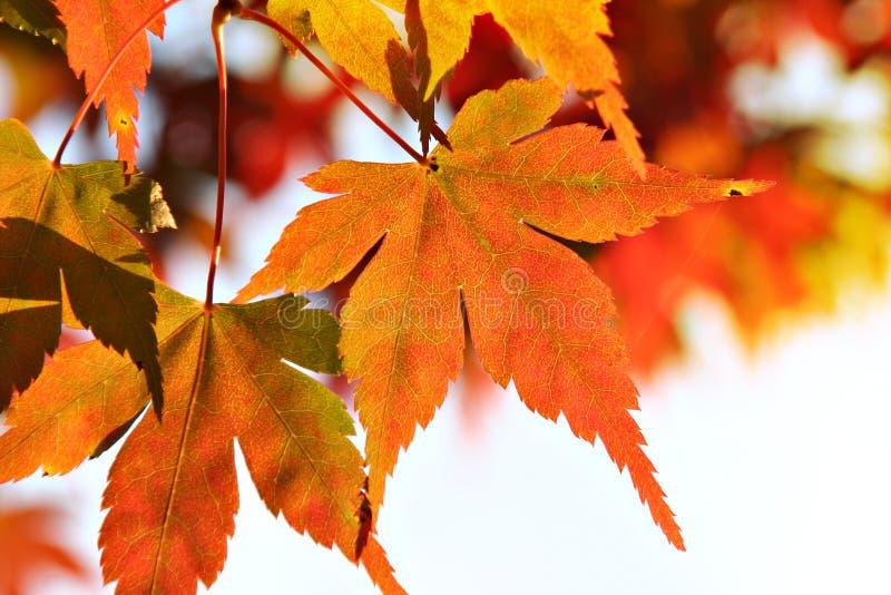 Het blad van de Esdoorn van de herfst stock foto's