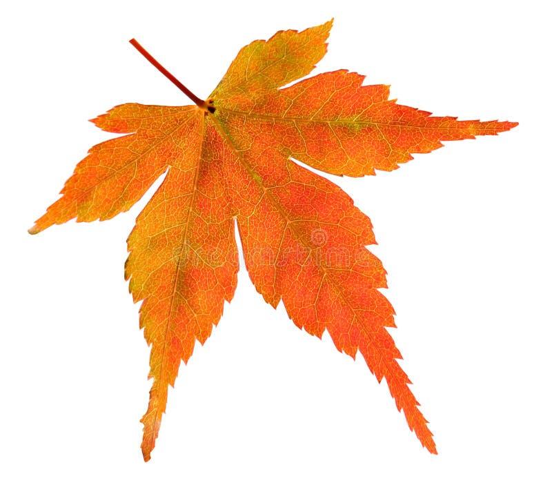 Het blad van de Esdoorn van de herfst royalty-vrije stock afbeeldingen