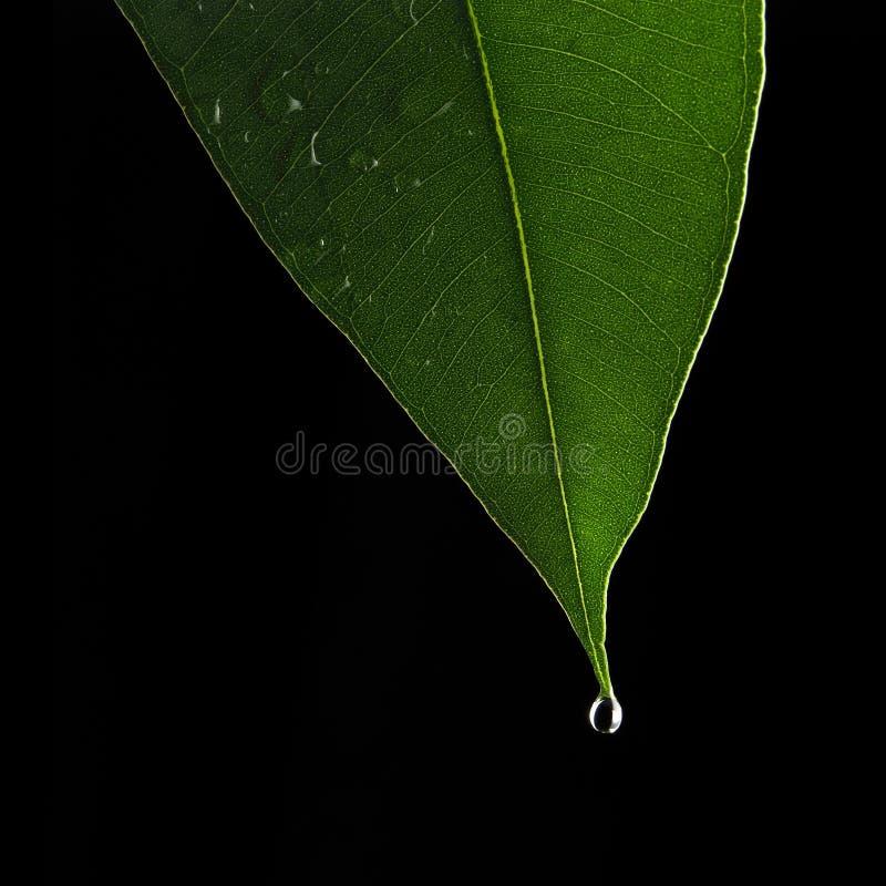 Het blad van de eucalyptus stock afbeelding