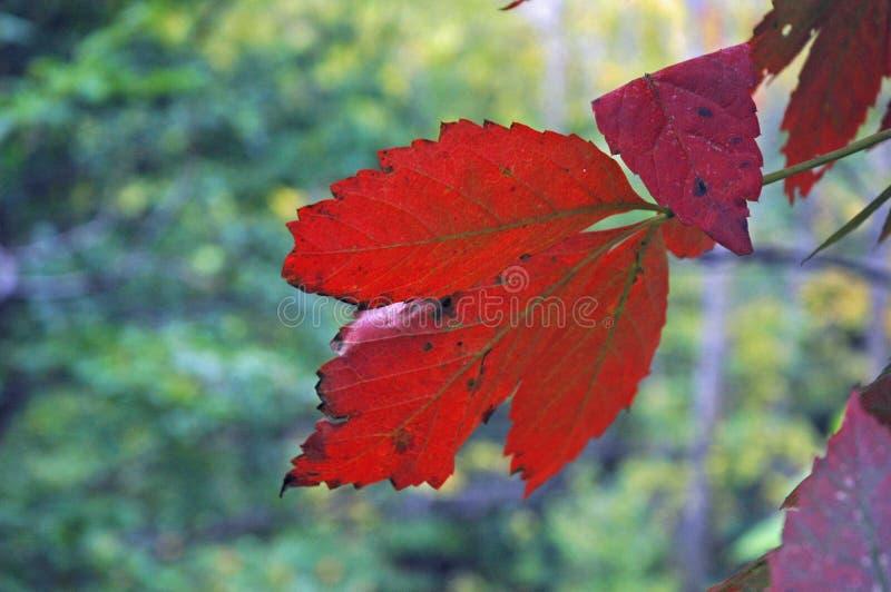 Het Blad van de herfst stock foto's