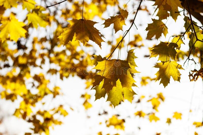 Het blad van de herfst De grootte van het beeld XXXL De esdoornblad van de herfst Het is geïsoleerdd Gevallen bladeren stock afbeelding