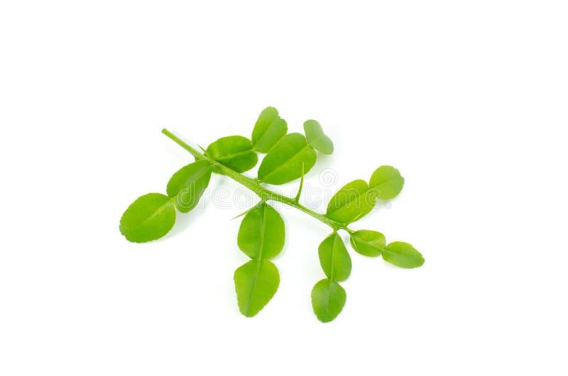 Het blad van de Kaffirkalk isoleert op witte achtergrond stock afbeelding